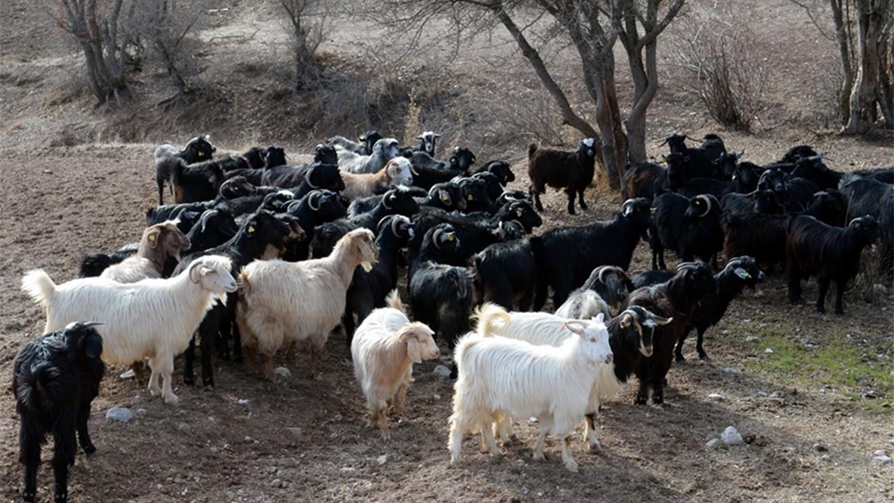 Koyun ve keçi yetiştiricilerine müjde