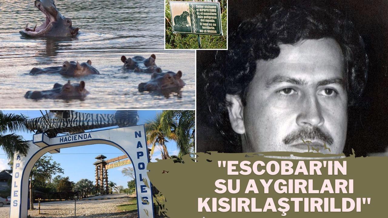 Escobar'ın su aygırları kısırlaştırıldı